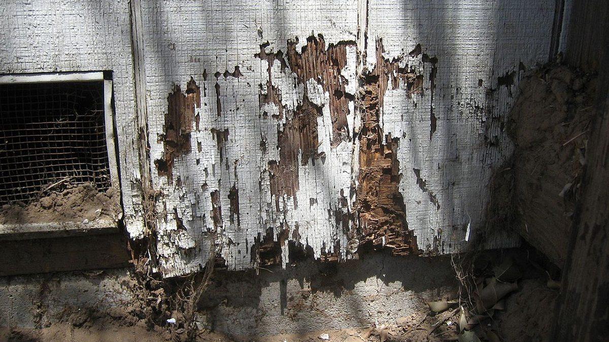 La plaga más temible para la madera: las termitas
