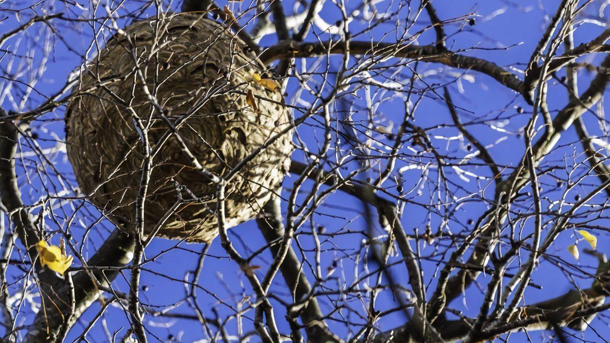 La avispa asiática en Asturias