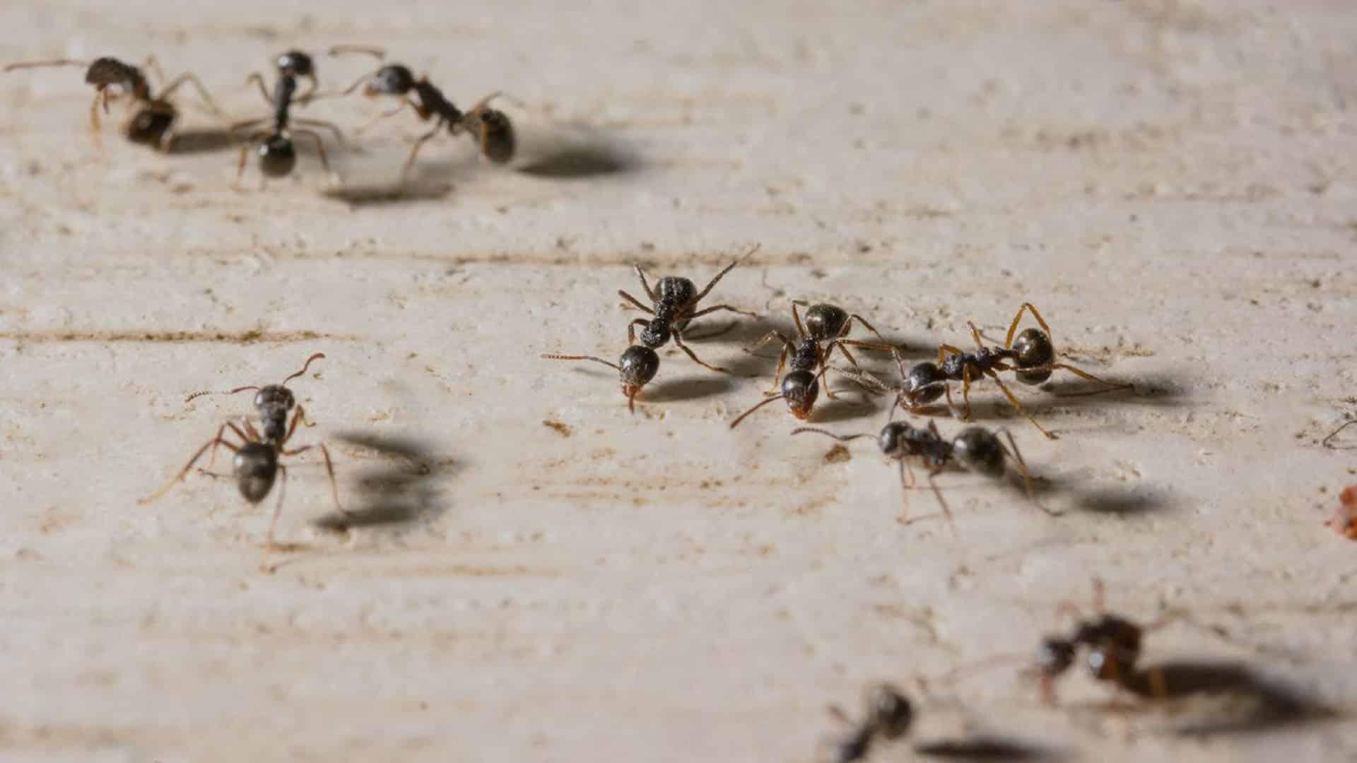 desinfección hormigas - Plagas&Control
