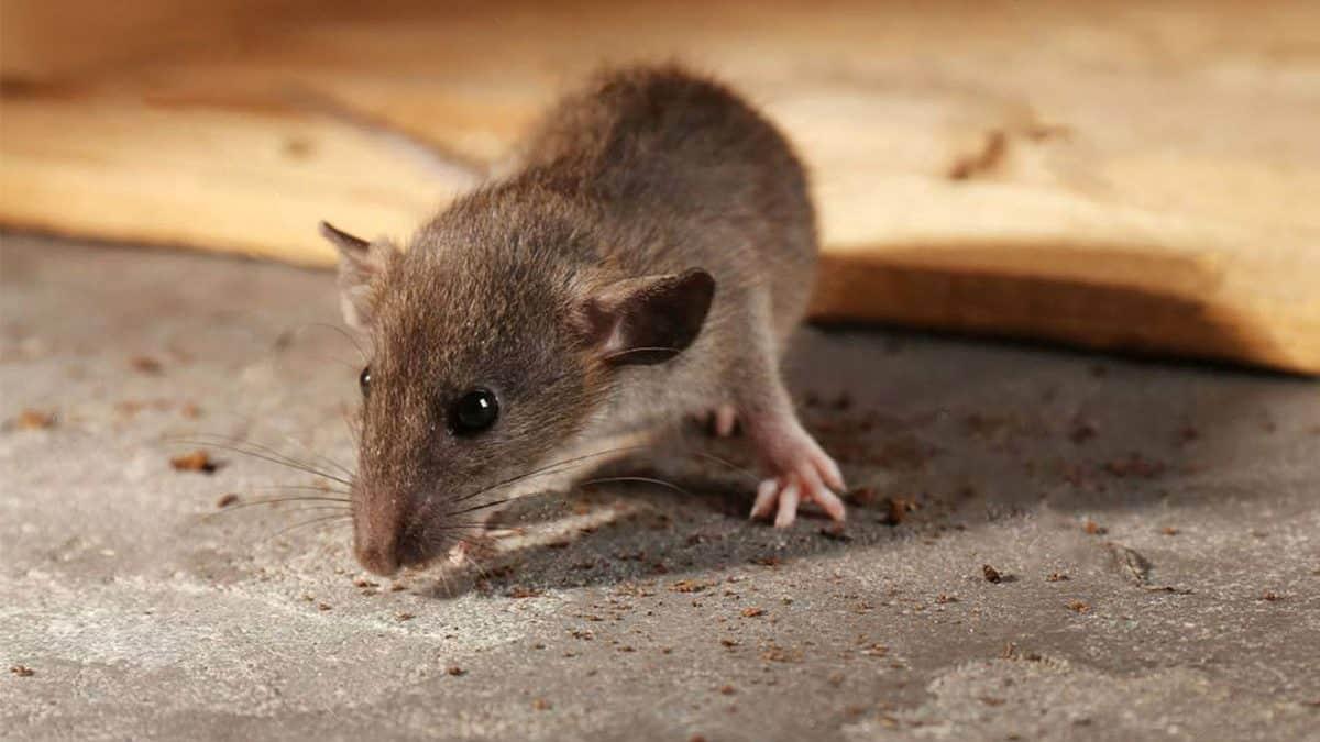 Hantavirus: enfermedad mortal por plaga de roedores