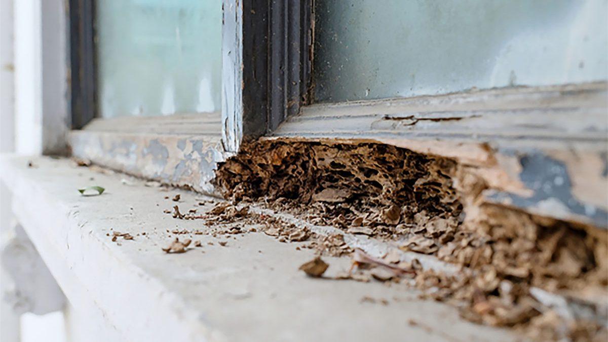 Cúal es la biología de las termitas