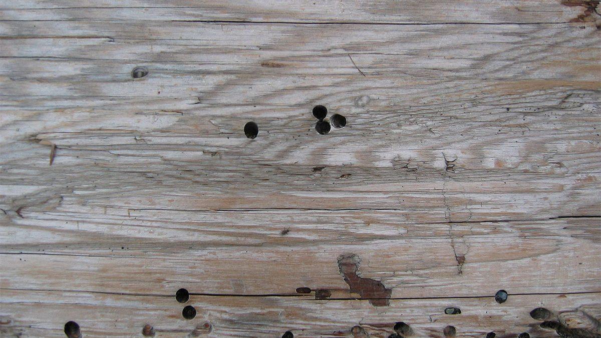 Diferencias entre las termitas y la carcoma